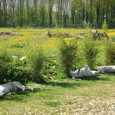 Tigres blancs au repos