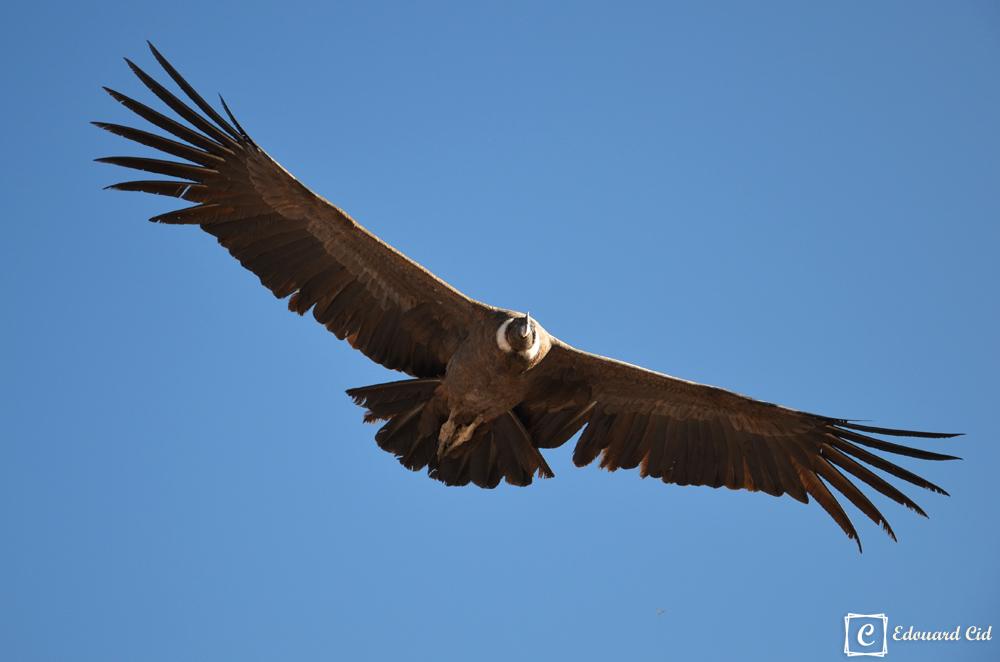 Condor planant