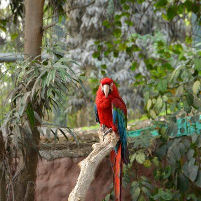 Perroquet au zoo de Lima