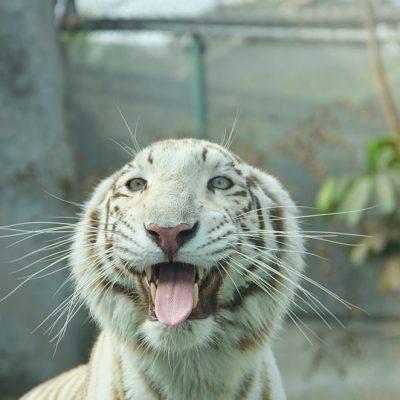 Tigre blanc au zoo de Lima