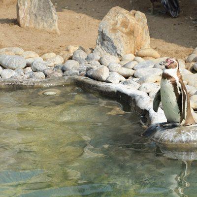 Pingouin au zoo de Huachipa