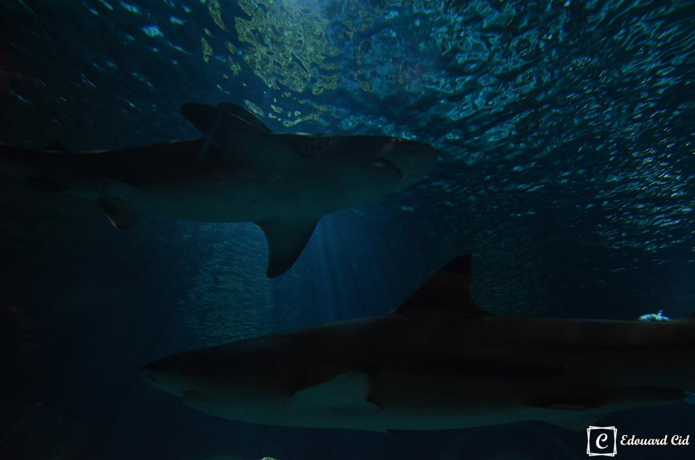Requins à Sealife
