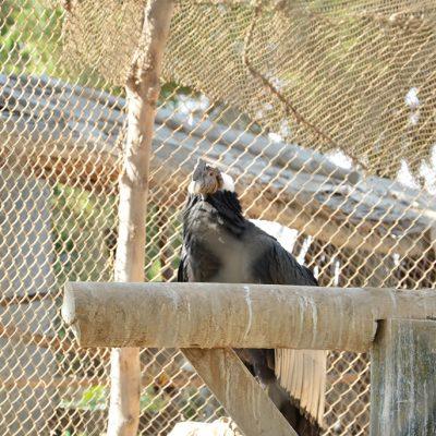 "Condor au zoo d""Ica"