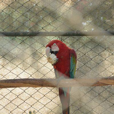 "Perroquet au zoo d""Ica"