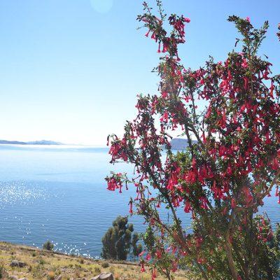 La Cantuta Buxifolia, fleur nationale du Pérou